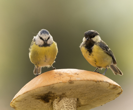 blue tit and great tit are standing on a mushroom Stock Photo