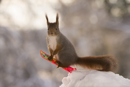 red squirrel on a  Snowboard looking at viewer