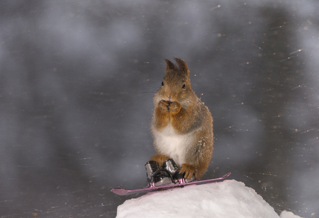 red squirrel stand on a  Snowboard in snowstorm