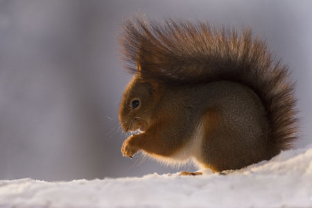 profile of a red squirrel standing in the snow Stock Photo
