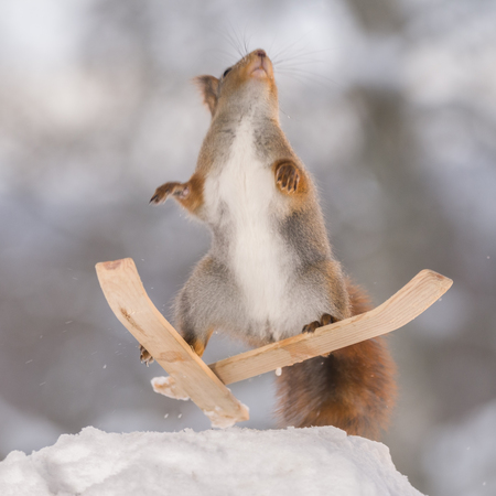red squirrel jumps on two skis in the air
