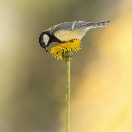 great tit is standing on a Dandelion Stock Photo