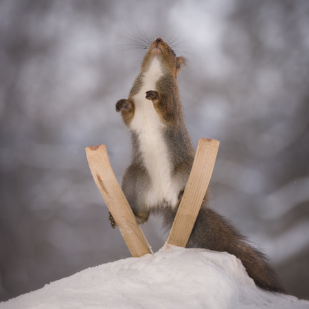 red squirrel is standing on skis jumping  Stock Photo