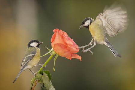 two great tit with a rose