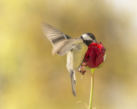 great tit flying towards an red rose