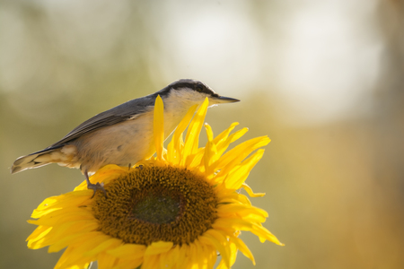 nuthatch is standing on a sunflower