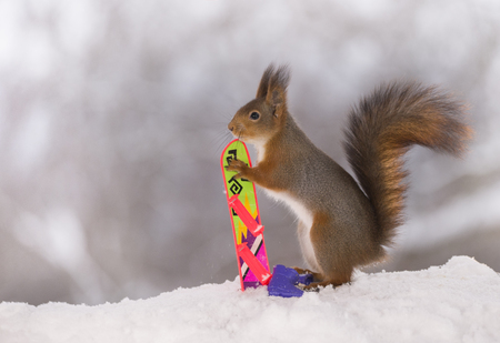 Red squirrel is holding a Snowboard Stock Photo