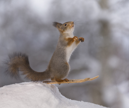 red squirrel is jumping on skis in the snow