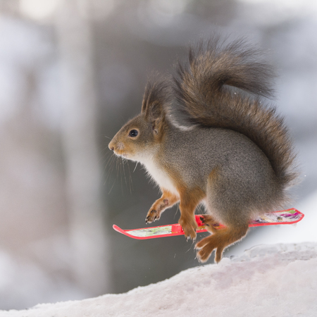 red squirrel with a  Snowboard