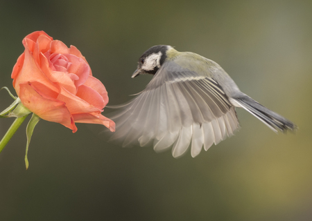 Great tit flying towards a rose