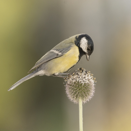 great tit is standing on a Thistle flower