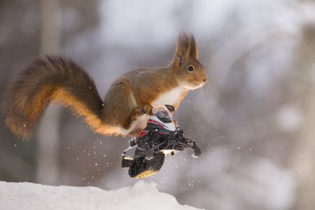Red squirrel is jumping with  a snowmobile