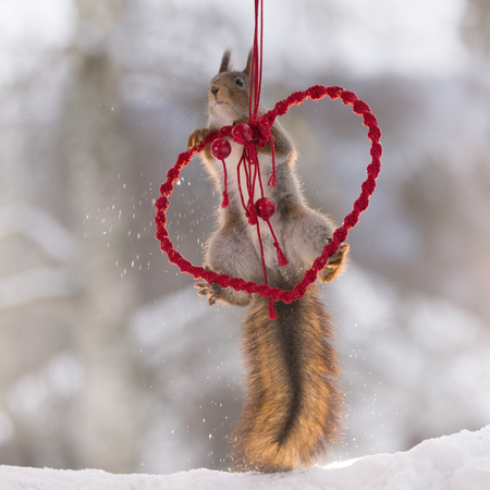 red squirrel is climbing in an red heart