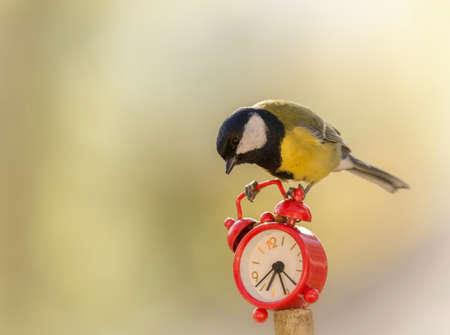 great tit is standing on an alarm clock  Stock Photo