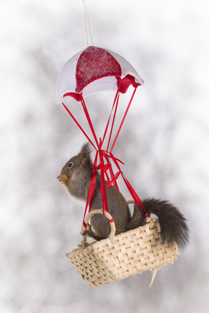 Red squirrel in an basket in a parachute