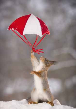 Red squirrel is holding on to a parachute