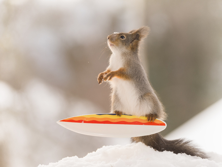 red squirrel stands and balance on an  Snowboard