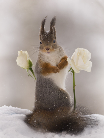 red squirrel is between white roses in the snow
