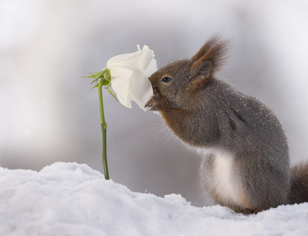 red squirrel is smelling a white rose in the snow