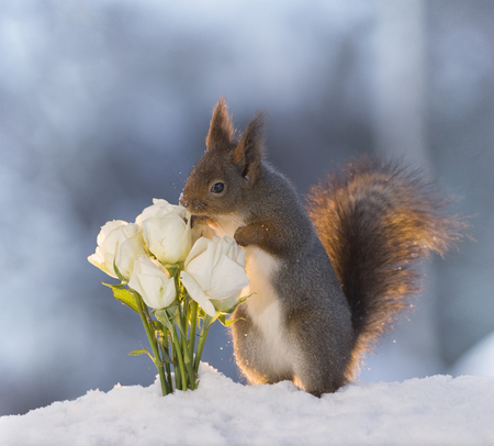 red squirrel  in the snow  is smelling white roses  Stock Photo