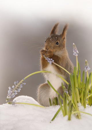 red squirrel is standing behind flowers in the snow