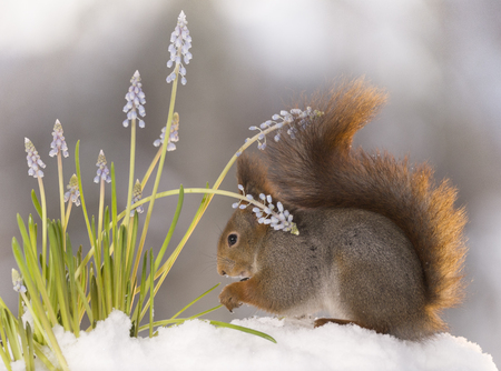 red squirrel is standing under flowers in the snow