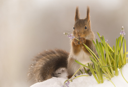 red squirrel holding an flower in the snow