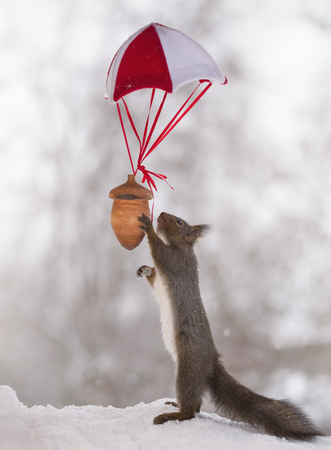Red squirrel with a nut at a parachute