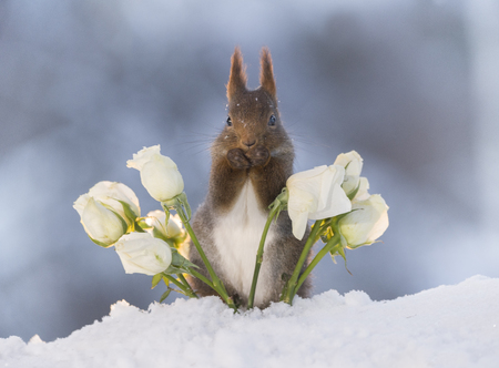 red squirrelis  is standing between white roses in the snow