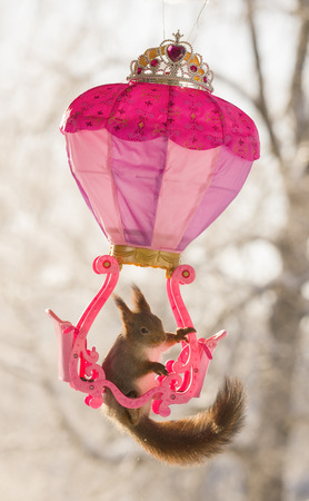 Red squirrel is hanging at a royal balloon  Stock Photo