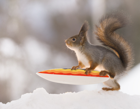 red squirrel is climbing on a  Snowboard  Stock Photo