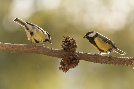 two great tit on an branch with pinecone
