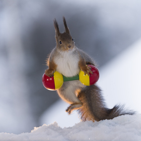 red squirrel is weightlifting in the snow Stock Photo