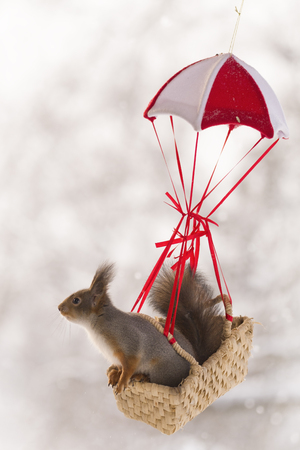 Red squirrel is sitting in an basket in a parachute  Stock Photo