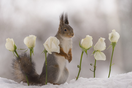 red squirrelis  standing between white roses in the snow