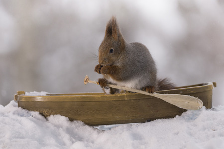 Red squirrel  in a rowing boat holding an oar Stock Photo