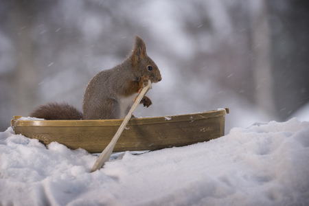 Red squirrel with an oar in a rowing boat  Stock Photo