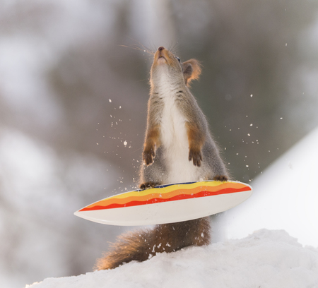 red squirrel is balancing on a  Snowboard