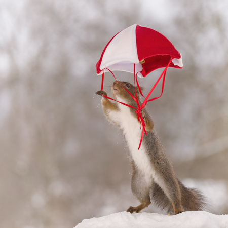 Red squirrel on snow with an parachute Stock Photo