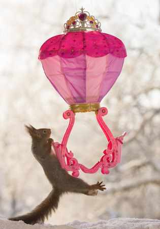 Red squirrel is hanging at a royal balloon