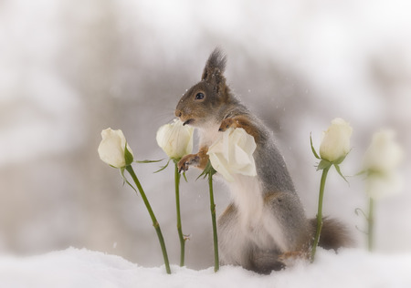 red squirrel  in the snow  is looking between white roses