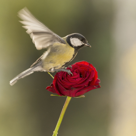 great tit is flying above an red rose