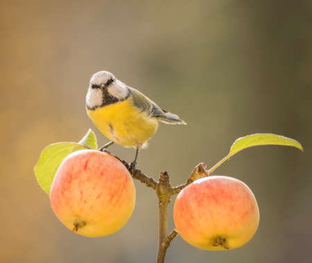 blue tit is standing on an branch with apples Stock Photo