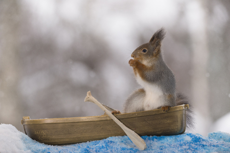 Red squirrel standing in a rowing boat with snow Stock Photo