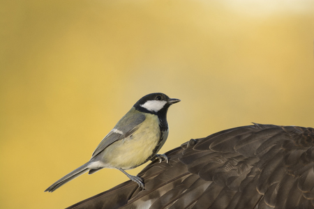 great tit is standing on a wing of an hawk