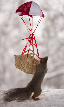 Red squirrel in climbing in an basket in a parachute