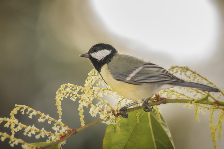 great tit is standing on a bamboo flower branch
