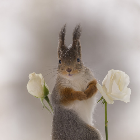 red squirrelis  is looking between white roses in the snow Stock Photo