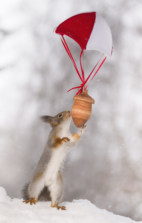 Red squirrel is reaching to a nut at a parachute