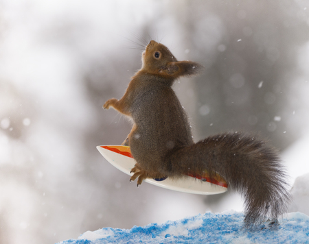 red squirrel is looking up on an  surfboard  Stock Photo